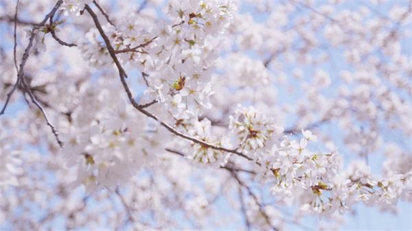 樱花在阳光洗浴下温顺的绽放变革镜头记载高清视频实拍