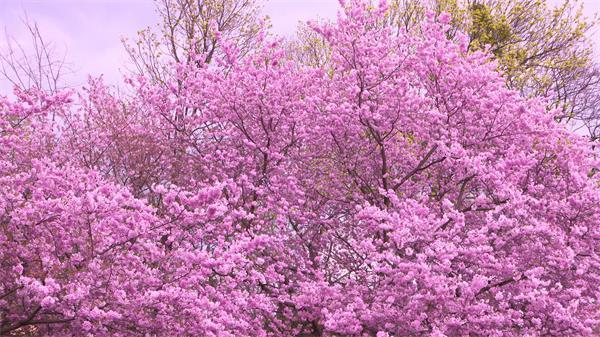[4K]春天季节华丽樱花盛放艳丽色彩植物开花视觉感受高清视频拍摄
