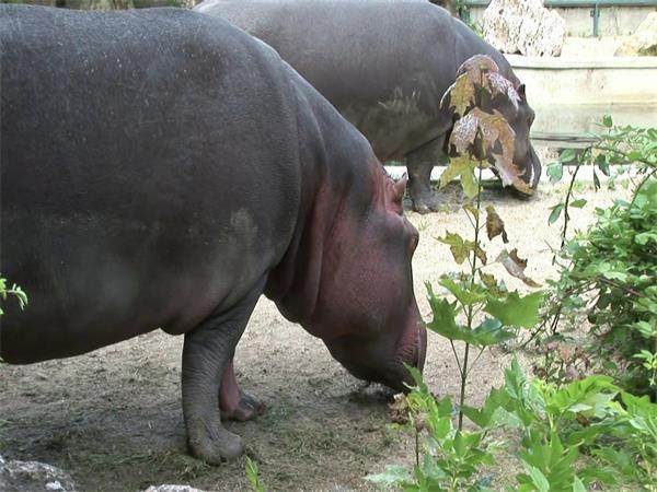 动物园可爱河马寻找食物动物系列特写拍摄高清视频实拍