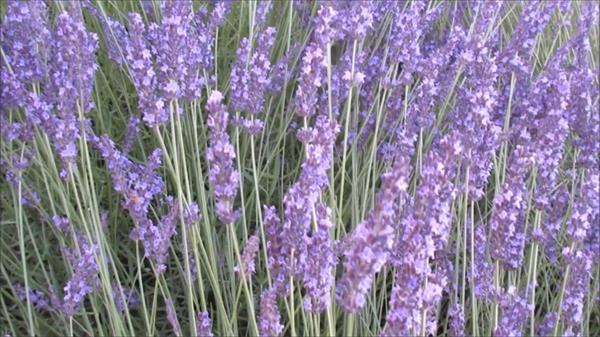艳丽色彩薰衣草田近距离特写花朵盛开景色植物鲜花高清视频实拍