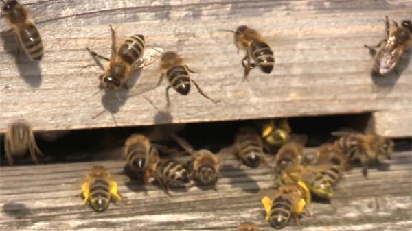 勤劳蜜蜂飞来飞去进出蜂巢忙碌采蜜昆虫姿态特写高清视频实拍