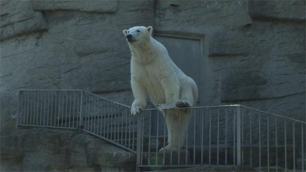 动物园呆萌北极熊扶护栏站立爬行动物活动特写高清视频拍摄