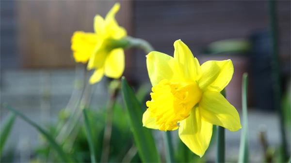美丽灿烂盛开黄色郁金香微风错过轻轻摇曳植物特写高清视频实拍