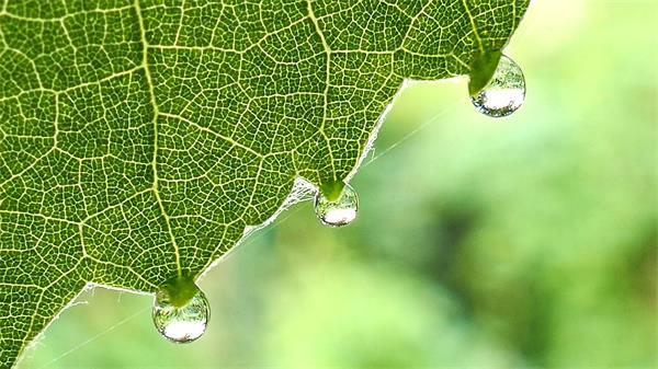 【4K】绿色树叶悬挂晶莹透亮水珠摇摇欲坠植物水珠特写高清视频实