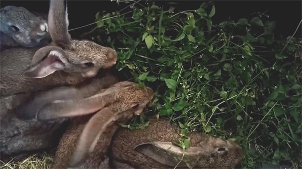 灰色迷你雷克斯兔子們吃著新鮮嫩綠樹葉小動物飲食特寫高清視頻實