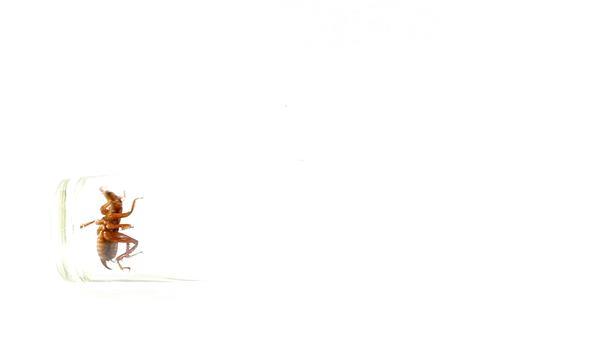 透明玻璃杯棕色蟋蟀多角度爬行昆虫爬行姿态镜头高清视频拍摄