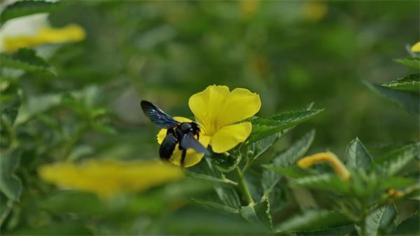 黄花菜花娇丽绽放黑色蜜蜂昆虫采蜜昆虫生活姿态高清视频实拍
