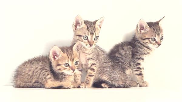 可爱活泼小猫室内安静休息眼神不定时左?#22812;?#26395;动物生活姿态高清视