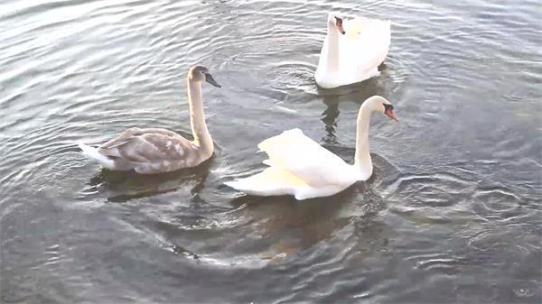 清澈湖边天鹅游泳游人洒落食物饲养天鹅伸进水觅食镜头高清视频实