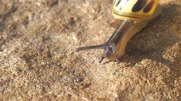 蜗牛沙岸上迟缓匍匐植物姿势近间隔特写镜头高清视频实拍