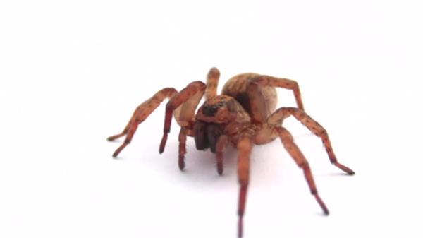 蜘蛛白色背景上慢动作爬行行走动物动态镜头特写高清视频实拍