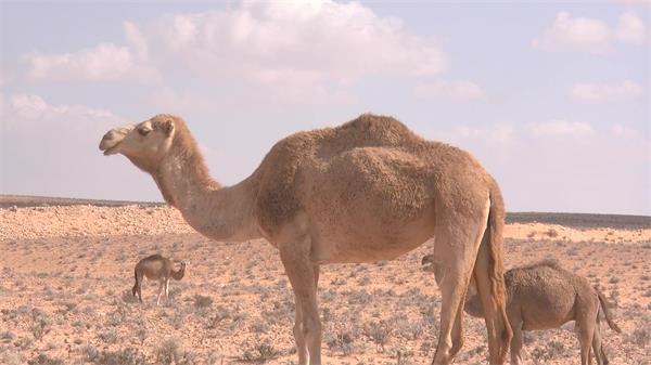 沙漠边缘酷热天气骆驼生活荒漠热带地域动物生活镜头高清视频实拍