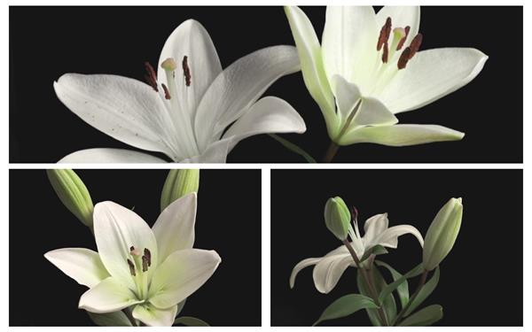 洁白简约百合花植物生长盛开花朵展现唯美姿态高清延时拍摄
