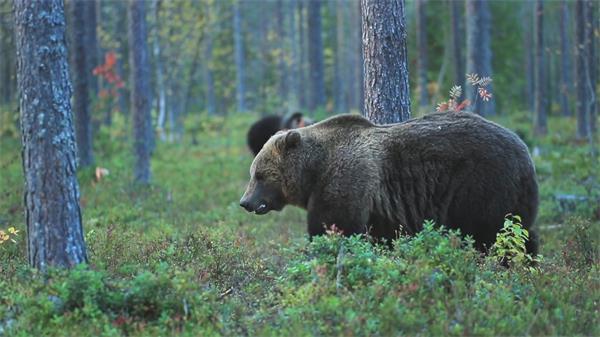 大自然森林黑熊草丛中寻找食物生态环境动物生活高清视频实拍