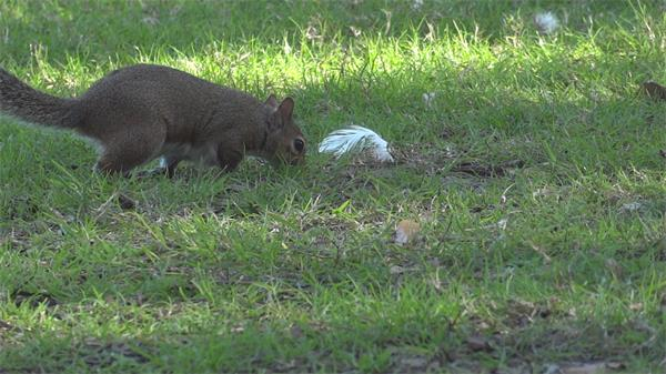 可爱松鼠觅食草地玩耍打闹动物生活特写镜头高清视频实拍