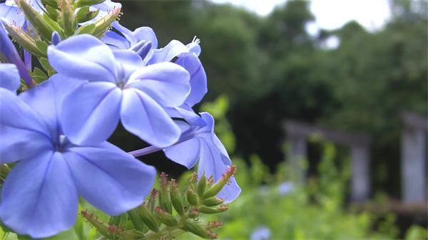 花开季节公园植物鲜花紫色花朵绽放镜头变焦拍摄高清视频实拍