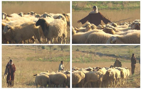 宽阔养殖场草原饲养员放牧成群结队羊行走动物姿态生活高清视频实