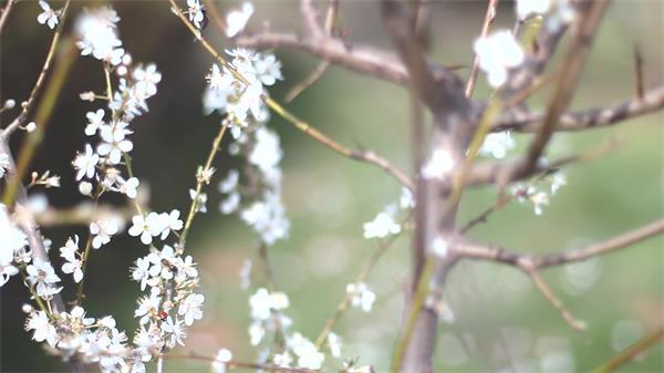 万物生长季节唯美樱花树盛开蜜蜂飞往花朵采蜜镜头高清视频实拍