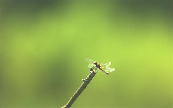 大自然森林蜻蜓树枝上飞翔慢动作虚化背景特写镜头高清视频实拍