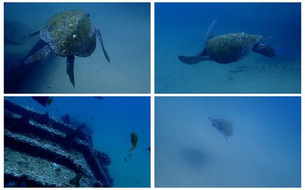 潜水探索观察海底世界海龟鱼群自在游动海底生物镜头高清视频实拍