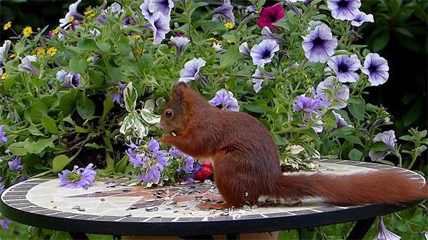 可爱松鼠花园桌面摆放吃着葵瓜子嘴巴咀嚼动物姿态镜头高清视频实