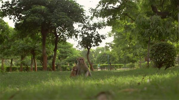 清新生态公园猴子坐下草地休息眼睛左右观望动物姿态高清视频实拍