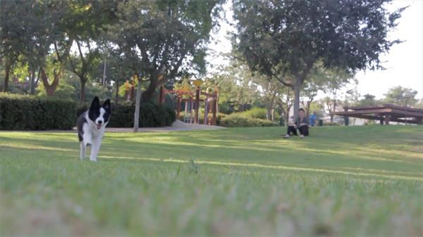 日落黄昏主人与可爱小狗公园草坪中玩耍奔跑高清视频实拍