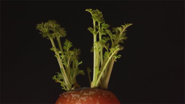 [4K]动物园艺胡萝卜叶子天然生长进程玄色配景镜头特写高清视频实