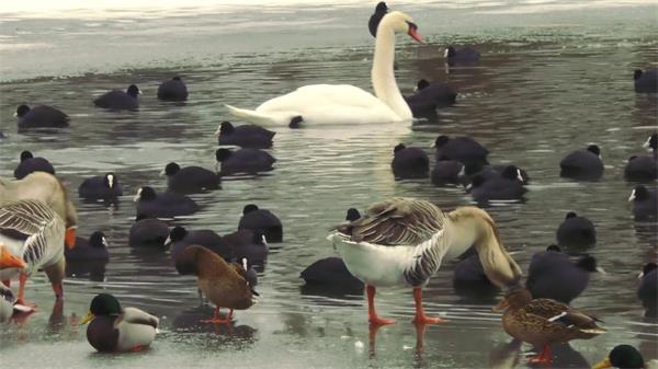 池塘结群鸭子水上游动游行水中戏水时而低头喝水高清视频实拍