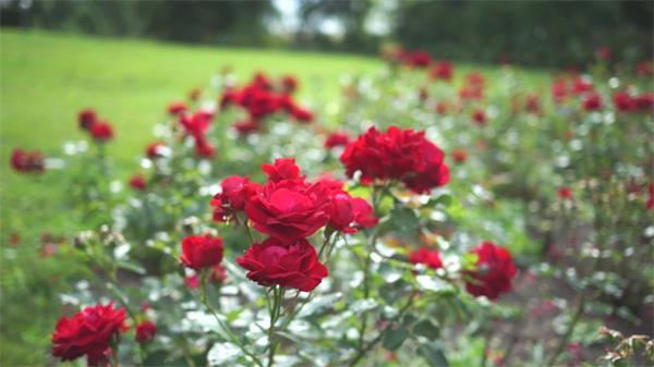 公园草地种植艳丽玫瑰鲜花近距离特写拍摄花丛高清视频实拍