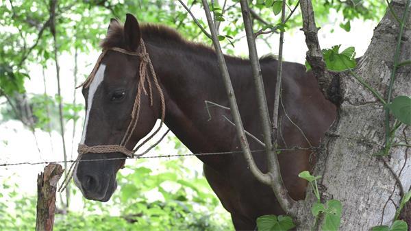 陰涼樹林底下棕色馬樹木旁吃草悠閑歇息動物姿態生活高清視頻實拍