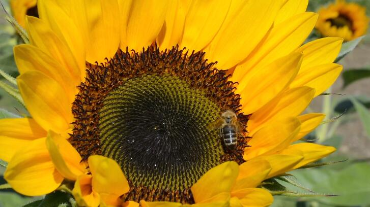 大自然蓝天白云向日葵蜜蜂飞舞采蜜高清视频实拍
