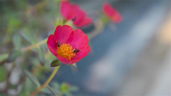 万物生长季节花园花丛鲜花盛开蜜蜂飞往花朵中采蜜高清视频实拍