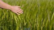 人与自然黄金小麦农场谷物景物高清视频实拍