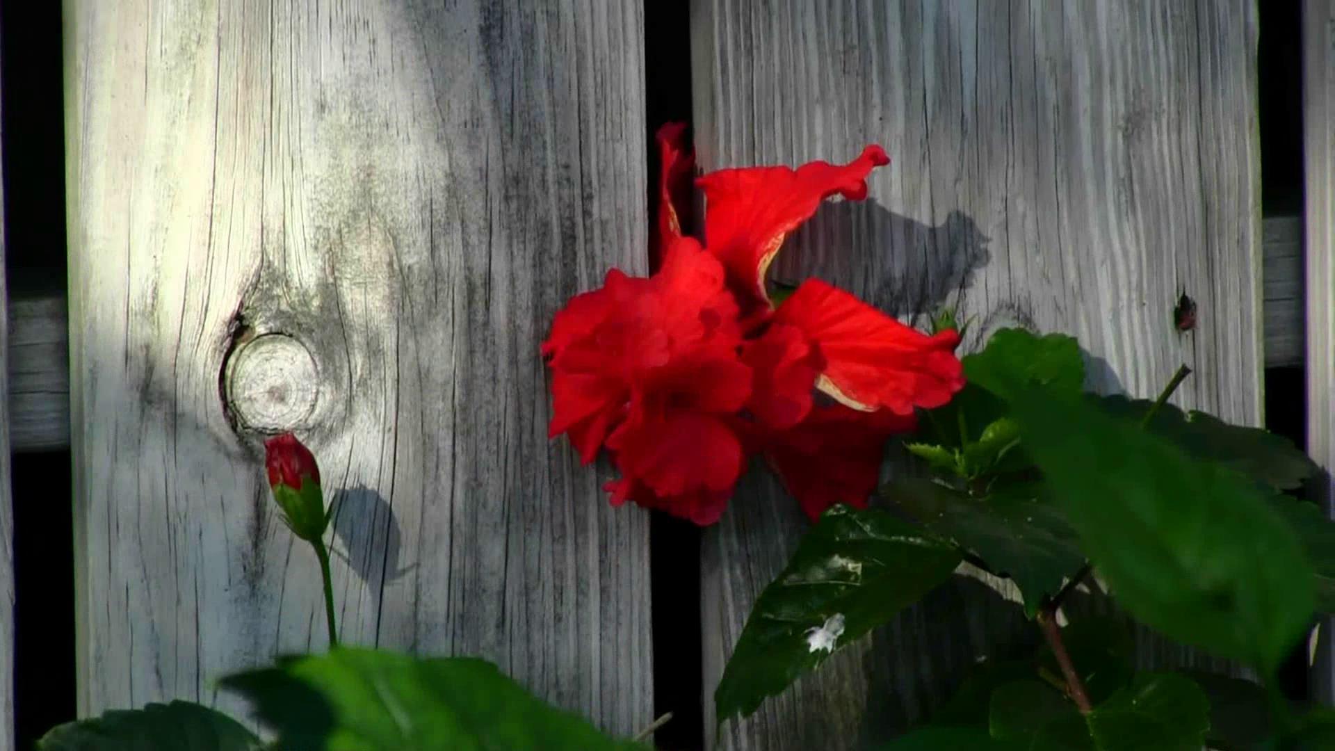 鲜艳的栅栏边开放的红色花朵摇曳高清视频实拍