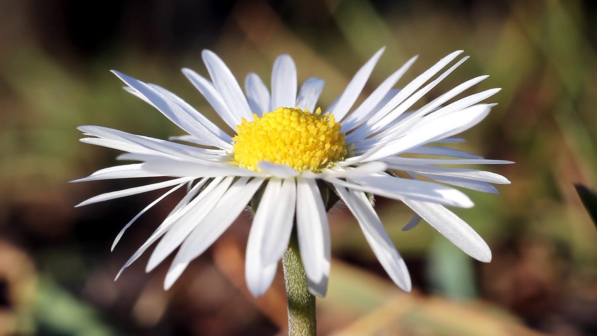 蜜蜂采蜜鲜花特写高清实拍