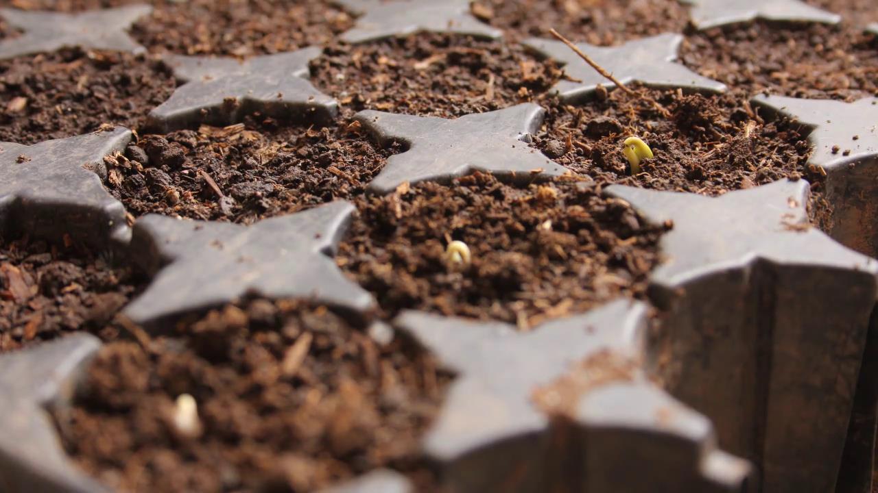 种子发芽破土而出过程慢镜头高清实拍