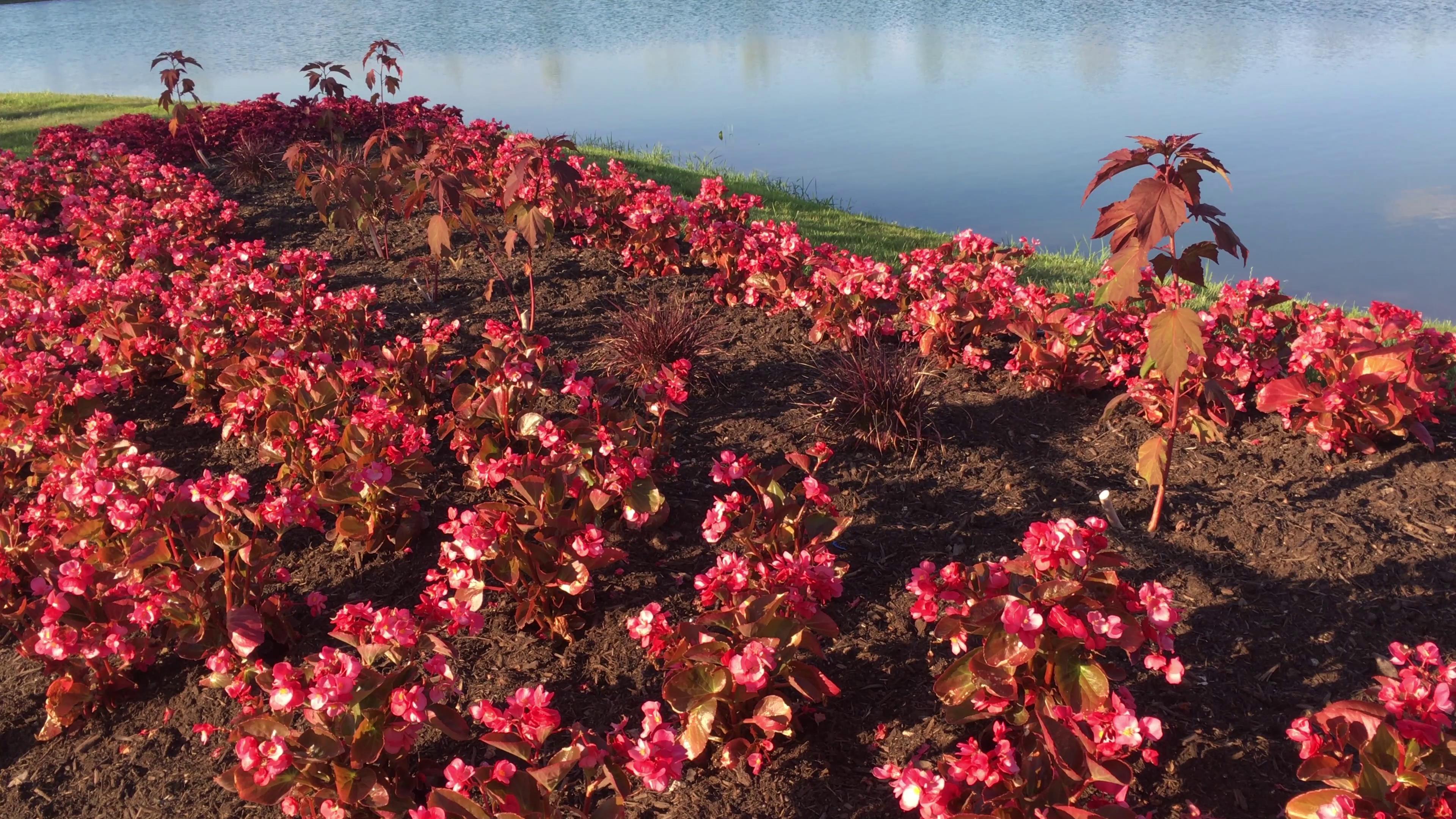河水岸边美丽红色花朵丛景观高清实拍