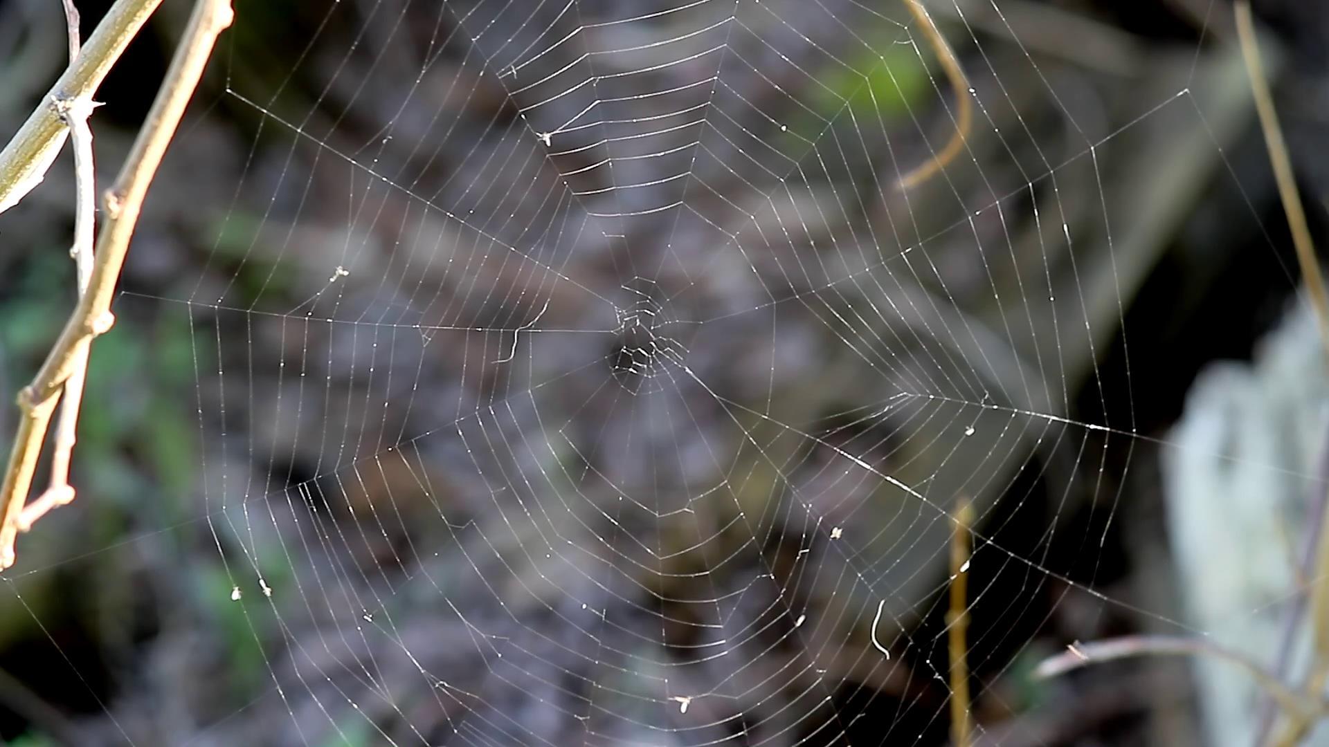 风中的蜘蛛网晃动视频高清实拍