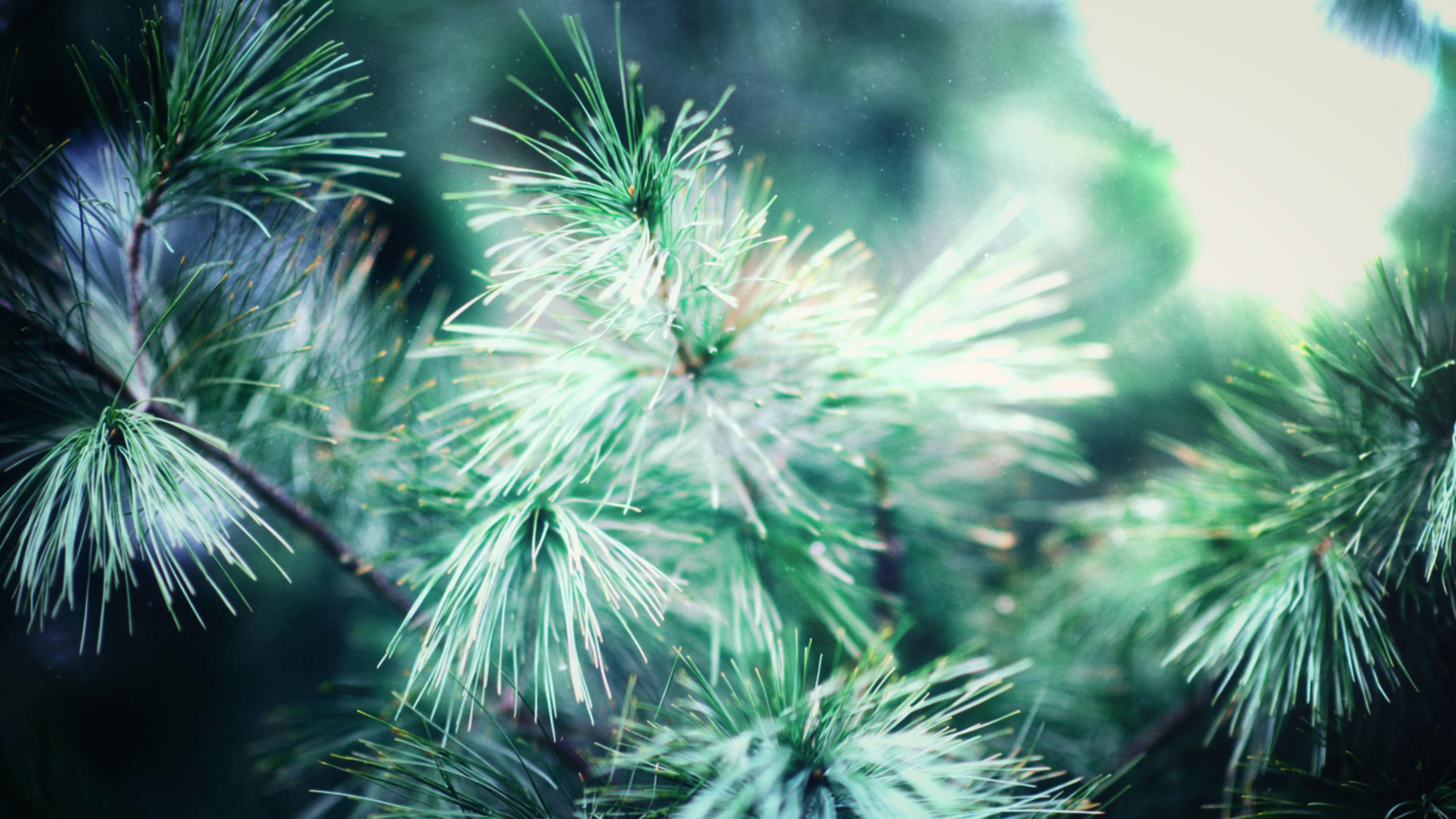 大自然松针枝头特写镜头高清实拍