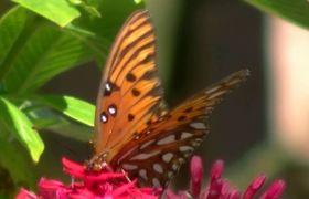蝴蝶采蜜鲜花特写高清实拍